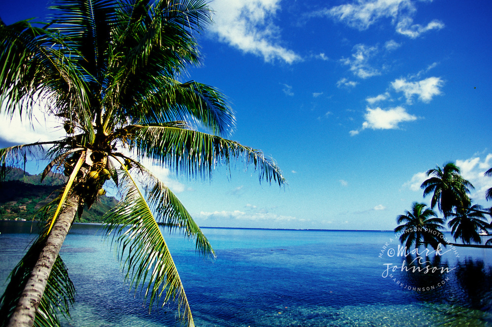 Coconut trees along coast, Moorea, French Polynesia