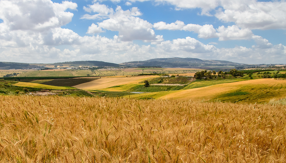 Wheat fields near Mt. Tabor village, northern  Isreal