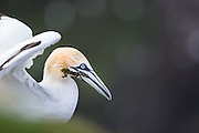 A gannet holding some kelp in its mouth to use as nest building material in Hermaness NNR, Unst, Shetlands