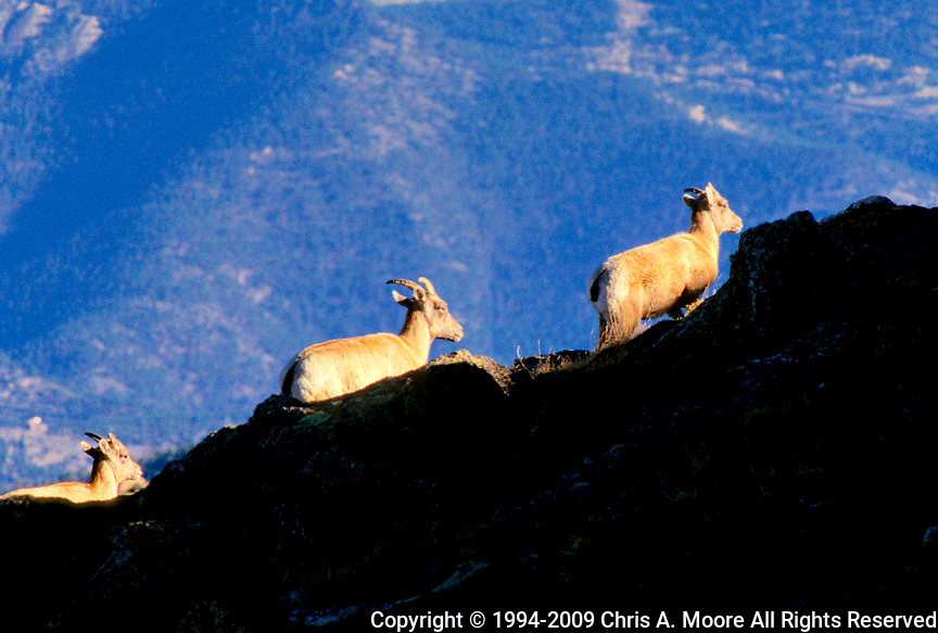 Big Horn Sheep on a ridge line at Mt Goliath, CO, September 1994.