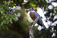 Ringed Kingfisher (Ceryle torquata) or (Megaceryle torquata), Pantanal, Brazil