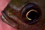 Chromis dispilus (Demoiselle)