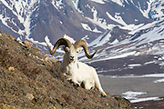 Dall's Sheep, rams, spring, Polychrome Pass, Denali National Park, Alaska. Digital original, ©Robin Brandt #2006_1784