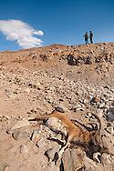 CACP guards checking wild sheep killed by cheetah, Dar e Anjir, Iran