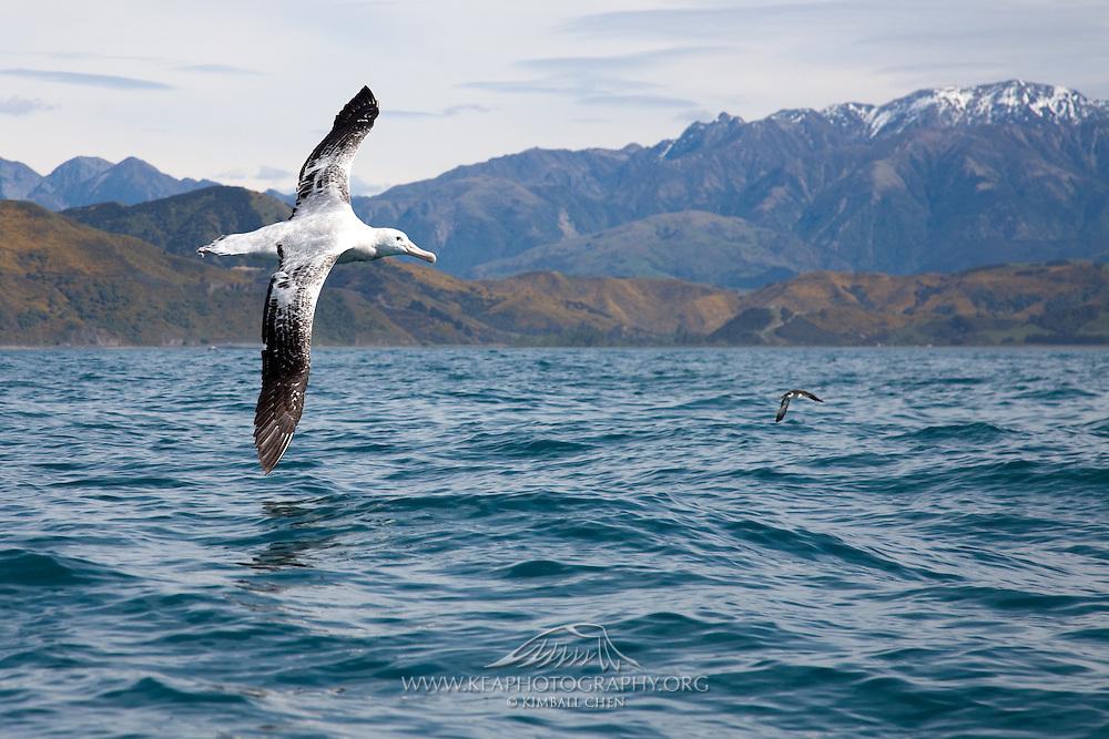 Wandering Albatross, Kaikoura, New Zealand