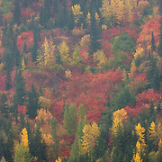 A variety of fall colors mix with the evergreen trees on a hillside at Stevens Pass, Washington.