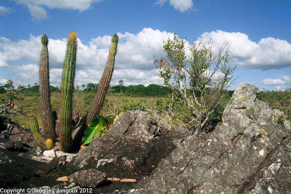 Savanna (cerrado) biome, Brazilian  Highlands, Goiás State, Brazil: vegetation on rock outcrop (saxicolous vegetation): Cactus: Pilosocereus machrisii (family Cactaceae).