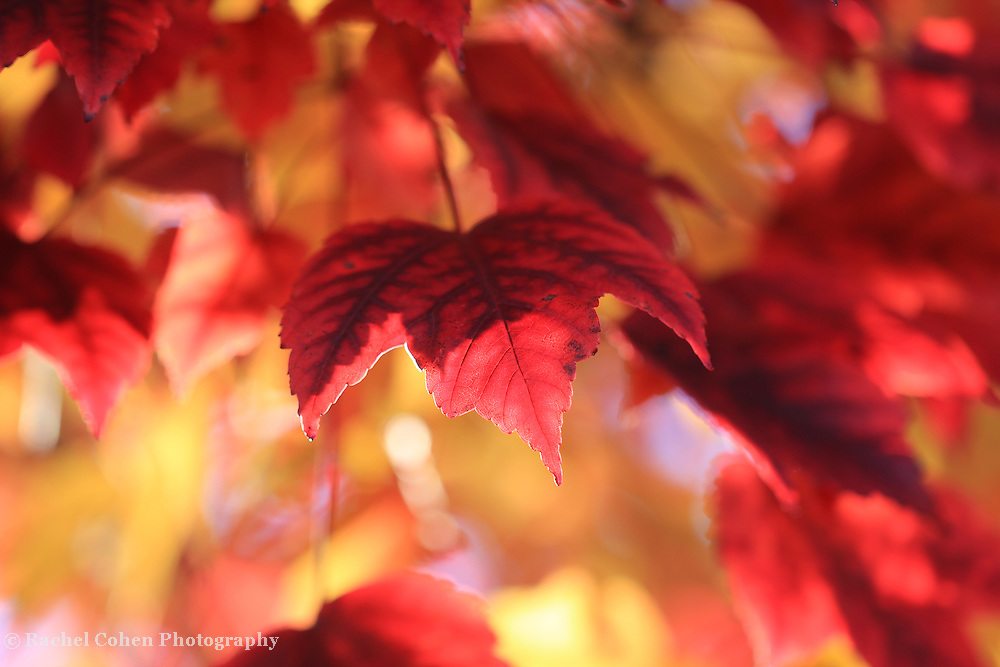 &quot;In Red and Gold&quot;<br /> <br /> Lovely Maple leaves on one tree in beautiful colors of red and gold!!<br /> <br /> Fall Foliage by Rachel Cohen
