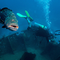 Black grouper (Mycteroperca bonaci) and scuba divers at El Águila wreck, West End, Roatan, Honduras.