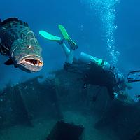 Black grouper (Mycteroperca bonaci) and scuba divers at El Águila wreck, West End, Roatan, Honduras.
