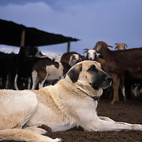 Anatolian guarding dog.Namibia.Anatolian shepherd dogs with herder. Anatolian Shepherds originated in Turkey over 6000 years ago. During this time, they have been bred to be trustworthy, attentive and protective. They stand approximately 24inchs at the shoulder and can weigh up to 150lbs (most average about 100lbs). If an intruder approaches, the dogs bark first and will only attack as a last resort. Most predators will avoid this large, and aggressively loud breed of dog. For the shy cheetah, the risk of injury far outweighs the chance of a meal..