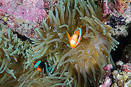 Orange-fin Anemonefish, Amphiprion chrysopterus, Bali Indonesia