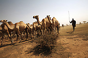 Nomads lead their camels to a watering hole in rural Somaliland. More than half the country's 3.5 million population are nomadic pastoralists with livestock being the country's major export..