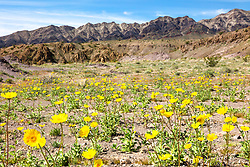 """""""Death Valley Wildflowers 1"""" - Photograph of yellow wildflowers in Death Valley, near the Ibex Dunes area."""