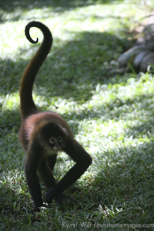 Central America, Latin America, Costa Rica, Golfo Dulce, Cana Blanca Wildlife Sanctuary. Curious Spider Monkey.