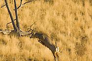Mule deer buck (Odocoileus hemionus)jumps barbed wire fence west of Livingston Montana<br /> PROPERTY RELEASED