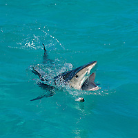 Breaching Tiger Shark lunging at bait