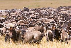 Herd of wildebeest at Masai Mara (also spelled Maasai Mara), a large park reserve in south-western Kenya. The wildebeest, also called the Gnu, is an antelope of the genus Connochaetes. / Gnu na Reserva Nacional Masai Mara, o mais famoso parque nacional do Quenia,  situado no enorme Vale do Rift.