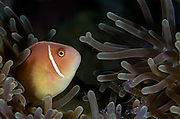 Pink Anemonefish (Amphiprion perideraion)  &amp; Ritteri Anemone (Heteractis magnifica)<br /> Cenderawasih Bay<br /> West Papua<br /> Indonesia