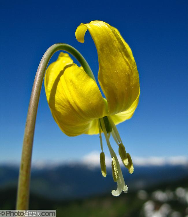 A yellow flower of a Glacier Lily grows on Scorpion Mountain, a hike (9 miles round trip, 2500 feet total gain) near Skykomish, US Highway 2, Washington, USA.