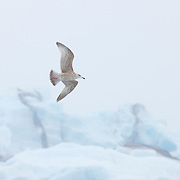A juvenile glaucous gull (Larus hyperboreus) flies over giant icebergs in Jökulsárlón, Iceland's Glacier Lagoon. The glaucous gull is one of the largest gulls with a typical wingspan of 60 inches (1.5 meters).