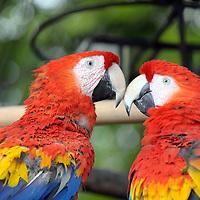 Antigua, Guatemala 25 May 2008<br /> Papagayo. (Parrot)<br /> Photo: Ezequiel Scagnetti