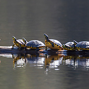 Seven yellow-bellied sliders bask on a log floating in Martin Lake, located in the Carolina Sandhills National Wildlife Refuge in South Carolina. The yellow-bellied slider is a pond slider that's native to the southeastern United States from southeastern Virginia to Florida. It's a diurnal turtle that feeds mainly in the morning and spends the rest of the day basking.