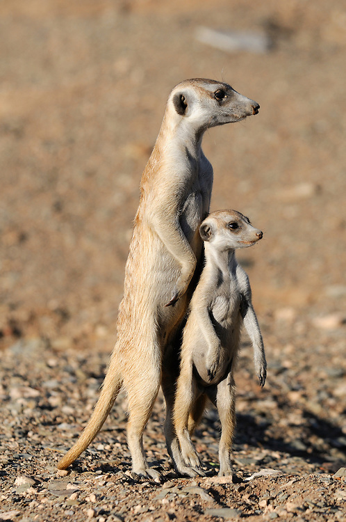 Suricate (Suricata suricatta), Quiver Tree Restcamp, Keetmanshoop, Karas Region, Namibia.