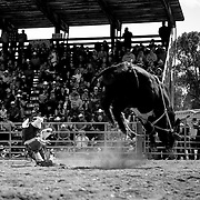 A bull rider struggles to get back to his feet after an unsuccessful ride.<br />