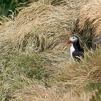Puffin in front of its nesting burrow