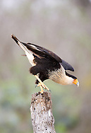 Crested Caracara (Caracara cheriway)<br /> TEXAS: Hidalgo Co.<br /> Las Colmenas Ranch<br /> 14-March-2006<br /> J.C. Abbott #2248