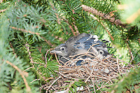 It's amazing how quickly baby birds grow!  It was only a week ago that they were just fresh out of the egg and were a raw pink color.  Now they are completely covered in feathers and stretchign their wings.  It won't be much more than another week before they're trying to fly!<br /> <br /> &copy;2009, Sean Phillips<br /> http://www.Sean-Phillips.com