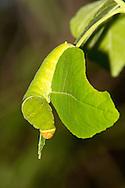 Two-tailed Swallowtail - Hodges#4178 (Papilio multicaudatus) - 5th instar caterpillar<br /> TEXAS: Travis Co.<br /> Zilker Botanical Garden; Austin<br /> 2-May-2015<br /> J.C. Abbott &amp; K.K. Abbott