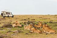 Lion pride with safari vehicle, Panthera leo, Masai Mara National Reserve, Kenya