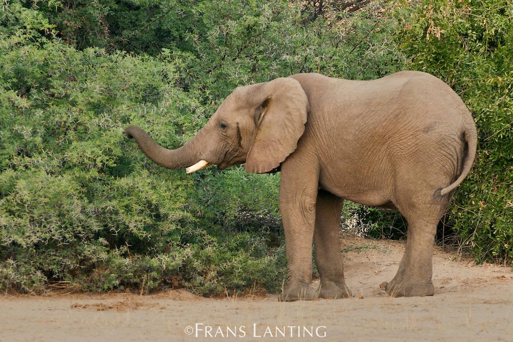 Desert elephant foraging, Loxodonta africana, Hoarusib River, Puros Conservancy, Damaraland, Namibia