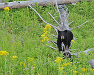 One of two black bear cubs-of-the-year frolics in a late summer meadow filled with goldenrod and fireweed. Cubs will remain with their mother for a year and a half or more until it is time to venture out on their own.