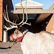 Willow, a female reindeer, at the Foster Hospital for Small Animals at the Veterinary Medicine School on the Grafton campus. (Alonso NIchols/Tufts University)