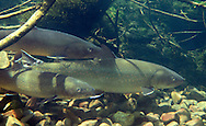 Bull Trout<br /> <br /> Patrick Clayton/Engbretson Underwater Photography