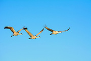 Sandhill Cranes in flight at Bosque del Apache National Wildlife Refuge, New Mexico.