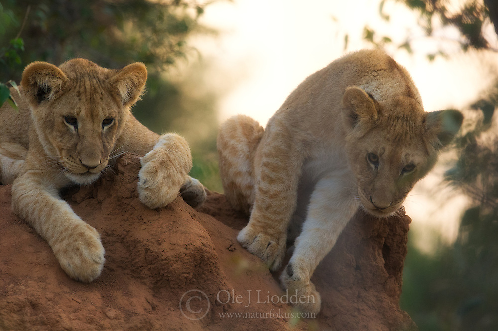 Lion (Panthera leo) cubs in Masai Mara