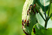 Orange and Black Bugs on a Milkweed Seedpod. Summer Nature in New Jersey. Image taken with a Nikon 1 V1 +  FT1 + 70-30 mm VR lens (ISO 100, 180 mm, f/5, 1/400 sec) and monopod. [FOV Equivalent to ~ 490 mm on a 35 mm image sensor]..