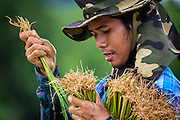 A Thai farmer, Sunthon Saphirat, transplants rice at the start of the Thai growing season in Nakhon Nayok, ‪Thailand‬ Aug 03, 2016. PHOTO BY LEE CRAKER