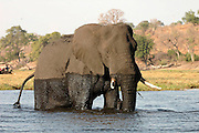 Elephant crossing Chobe river, Botswana