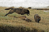 Two siblings from the Canyon Pack, squabble over the remains of an elk carcass near Alum Creek in Yellowstone National Park.