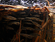 Group of Ninespine Stickleback<br />