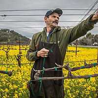 As spring approaches, field worker Felix Rodriguz wades through mustard flowers while tieing up branches prior to the first growth of grape vines near Oakville in California's Napa County.