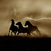Three Young Wild Mustang Stallions Play during Lightning storm in the Pryor Mountains.