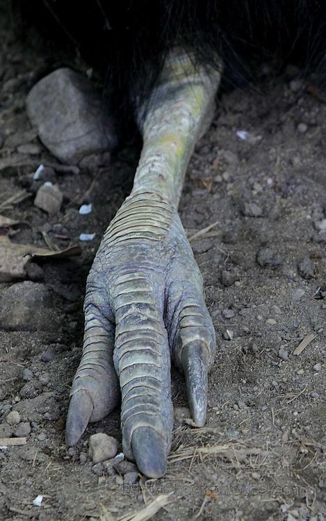 Cassowary bird foot - photo#16