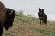 A large bull bison intimidates a young member of the Canyon Pack in Yellowstone National Park.  The yearling wolf made numerous attempts to venture towards the Pack's kill site along Alum Creek, but on each occasion, the bison charged the wolf leaving him to flee in the opposite direction.