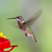 Ruby-throated hummingbird, Kleb Woods Nature Center, Tomball, Texas, late summer, migration, Archilochus colubris